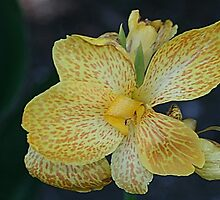 Yella Canna by Monnie Ryan