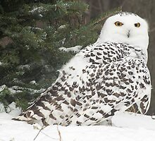Snow Owl for Roy by cherylc1