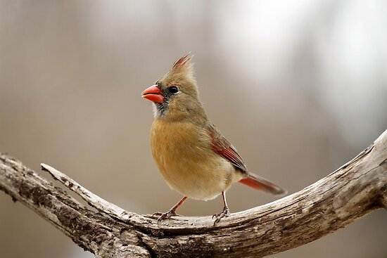 Female Cardinal by Gregg Williams