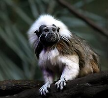 Cotton-top Tamarin by Pam Hogg
