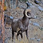 Colorado Ram by bamorris