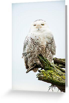 Snowy Owl by Jim Stiles