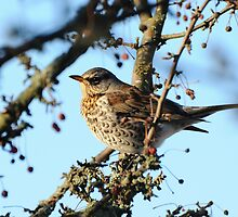 Fieldfare looking for frozen berries by vanStaffs