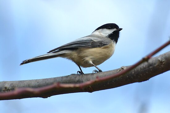 Chickadee5 by William Brennan