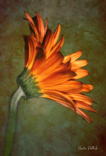 Daisy on an Antique Wall by Anita Pollak