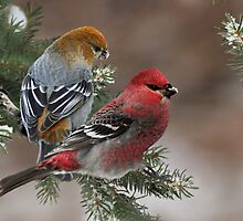 Pine Grosbeaks by Debbie  Fontaine