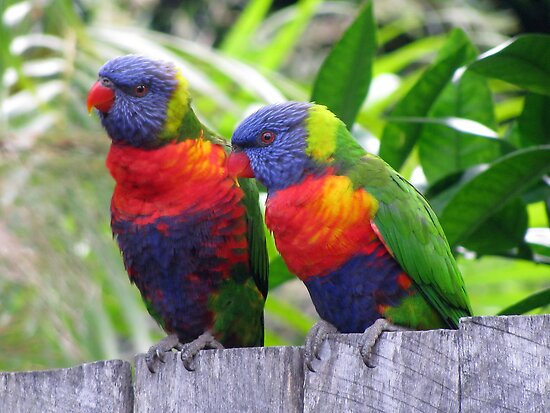 Two Rainbow Lorikeets by Ross Campbell