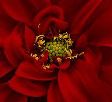 Red Dahlia by Ann Garrett