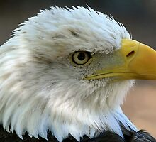 American Bald Eagle by Gregg Williams