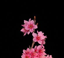 Sakura by Bob Hardy