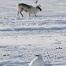 Svalbard ptarmigan and reindeer in Adventdalen by Algot Kristoffer Peterson