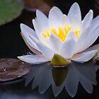 Waterlily by Halobrianna