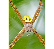 St. Andrews' Cross spider Photographic Print