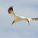 grace, gannet, Saltee Island, County Wexford, Ireland by Andrew Jones