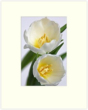 Fresh Tulips... a little later... by Bob Daalder