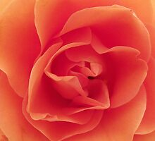 Rose - close crop by Dawn (Paris) Gillies