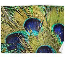 Peacock Fan Poster