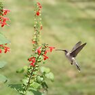 Hummingbird at flower. by Diana Landry