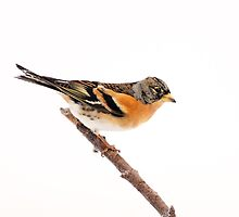 Brambling perched on a stick by Grant Glendinning