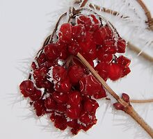 Frost and Berries by Gary Horner