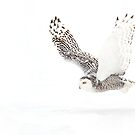 Cleared for Take-off - Snowy Owl by Jim Cumming