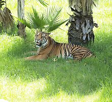 Juara, the Sumatran Tiger - Taronga Western Plains Zoo by Joe Hupp
