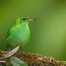 Female Green Honeycreeper   by Stephen Stephen