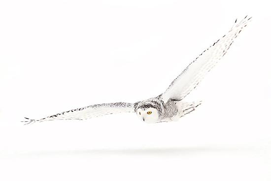 Shadow - Snowy Owl by Jim Cumming