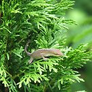 Lizard in an Evergreen by JeffeeArt4u
