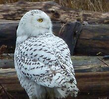 Are you looking at me? - Snowy Owl at Boundary Bay by MischaC