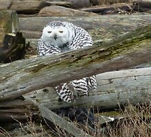 Kilroy was here - Snowy Owl at Boundary Bay by MischaC