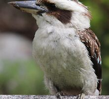 Kookaburra Sitting by Sally Haldane