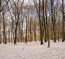Beech trees in the late afternoon sun by rackham963