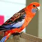 Crimson Rosella by Ross Campbell