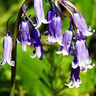 bluebells by Ms-Bexy
