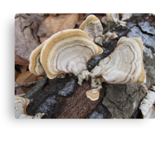 Shelf Fungus on Oak Canvas Print