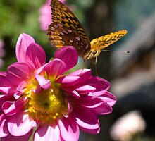 Dahlia with Great Spangled Fritillia  by KSKphotography