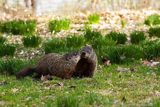 Groundhog Love by Dave Bledsoe