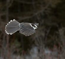Grey Jay in  flight by Wayne Wood