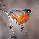 American Robin by Michael Cummings