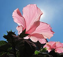 Basking in the Sunlight ~ Pink Hibiscus Flower under Blue Skies on a Sunny Day by Chantal PhotoPix
