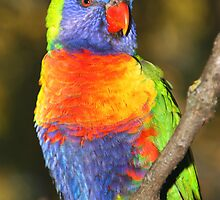 Rainbow Lorikeet #1 by Carole-Anne