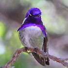 Costa's Hummingbird by Bluecornstudios