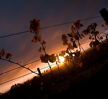 Vineyard Sunset by RickyC