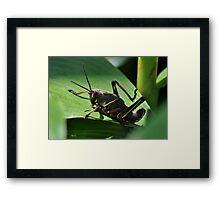 Eastern Lubber Grasshopper Nymph Stage Framed Print