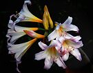 Lillies by annibels