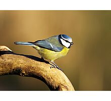 Blue tit Photographic Print