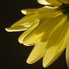 Chrysanthemum by Juli Lyons
