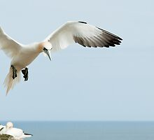 Landing with intent, gannet, Saltee Island, County Wexford, Ireland by Andrew Jones