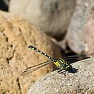 Southern Vicetail Dragonfly by Will Hore-Lacy